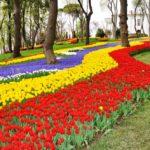 Emirgan Park, tulips